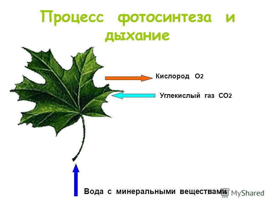 Процесс фотосинтеза и дыхание Кислород О 2 Углекислый газ СО 2 Вода с минеральными веществами