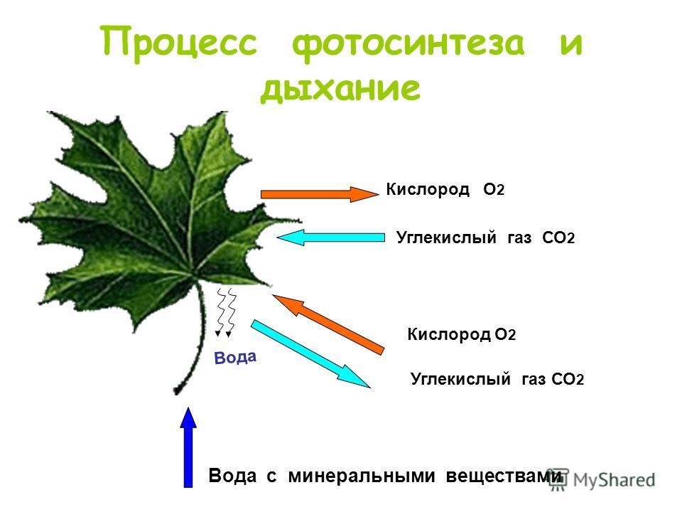 Процесс фотосинтеза и дыхание Кислород О 2 Углекислый газ СО 2 Вода с минеральными веществами Кислород О 2 Углекислый газ СО 2 Вода