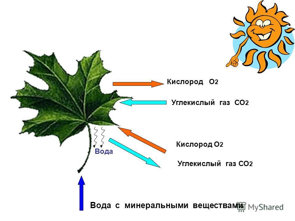 Кислород О 2 Углекислый газ СО 2 Вода с минеральными веществами Кислород О 2 Углекислый газ СО 2 Вода