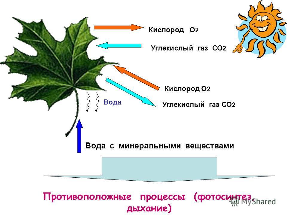 Кислород О 2 Углекислый газ СО 2 Вода с минеральными веществами Кислород О 2 Углекислый газ СО 2 Вода Противоположные процессы (фотосинтез, дыхание)
