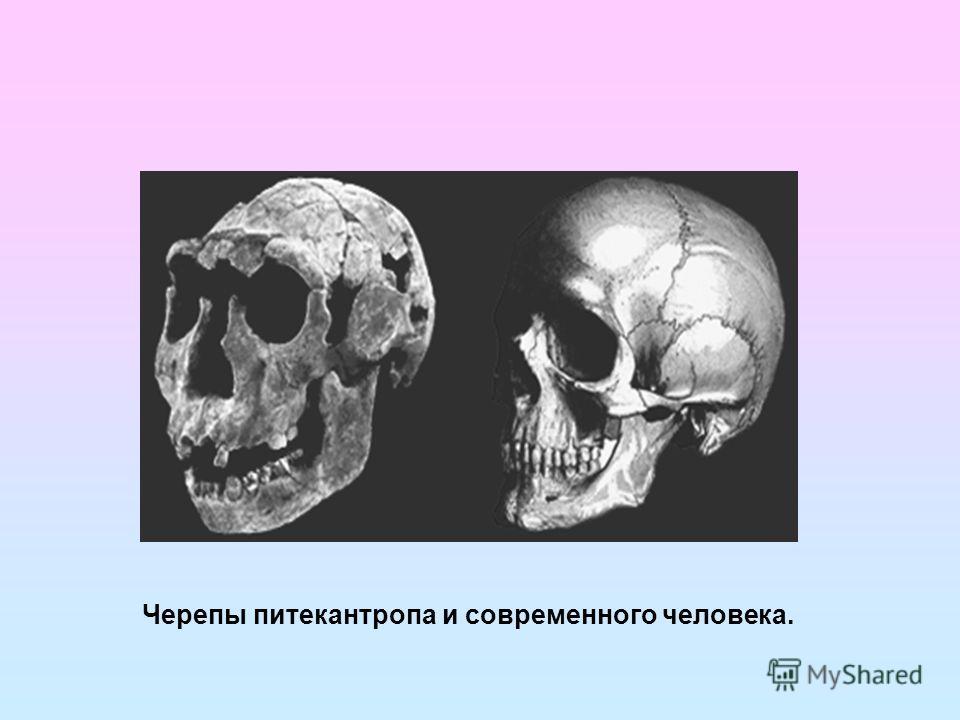 Черепы питекантропа и современного человека.