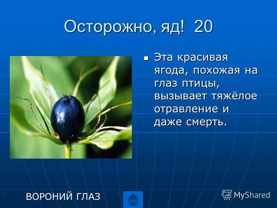 Осторожно, яд! 20 Эта красивая ягода, похожая на глаз птицы, вызывает тяжёлое отравление и даже смерть. Эта красивая ягода, похожая на глаз птицы, вызывает тяжёлое отравление и даже смерть. ВОРОНИЙ ГЛАЗ