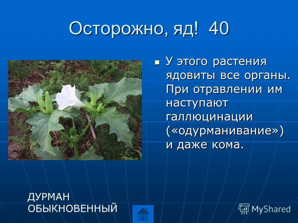 Осторожно, яд! 40 У этого растения ядовиты все органы. При отравлении им наступают галлюцинации («одурманивание») и даже кома. У этого растения ядовиты все органы. При отравлении им наступают галлюцинации («одурманивание») и даже кома. ДУРМАН ОБЫКНОВ