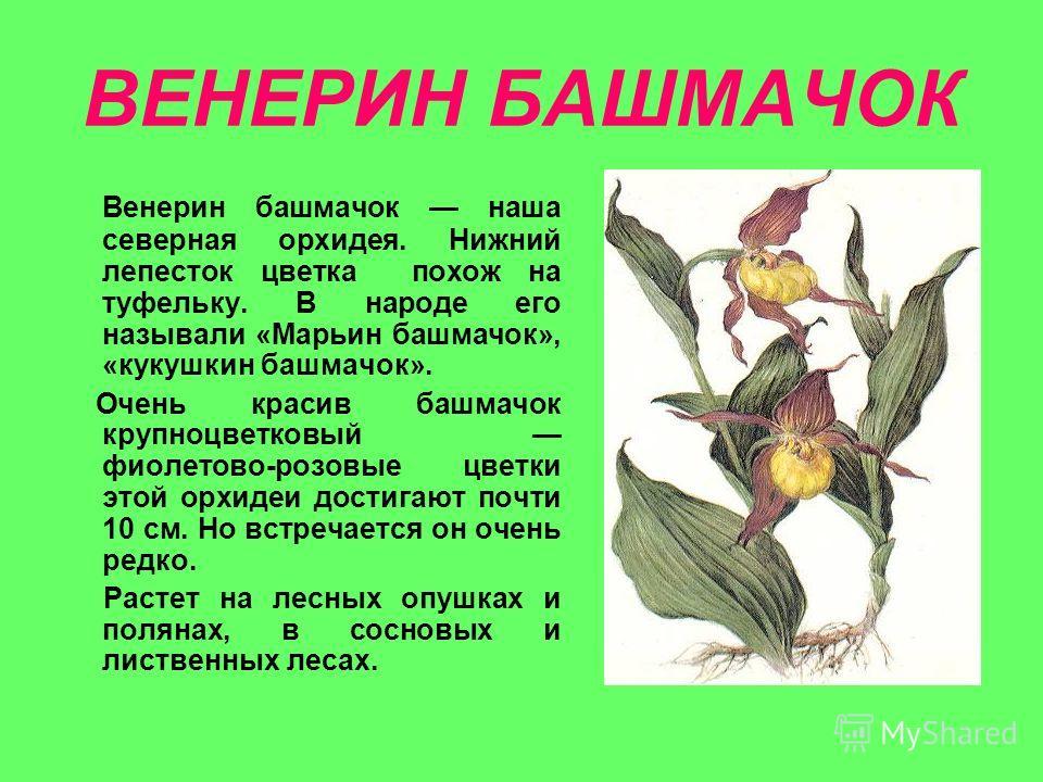 ВЕНЕРИН БАШМАЧОК Венерин башмачок наша северная орхидея. Нижний лепесток цветка похож на туфельку. В народе его называли «Марьин башмачок», «кукушкин башмачок». Очень красив башмачок крупноцветковый фиолетово-розовые цветки этой орхидеи достигают поч