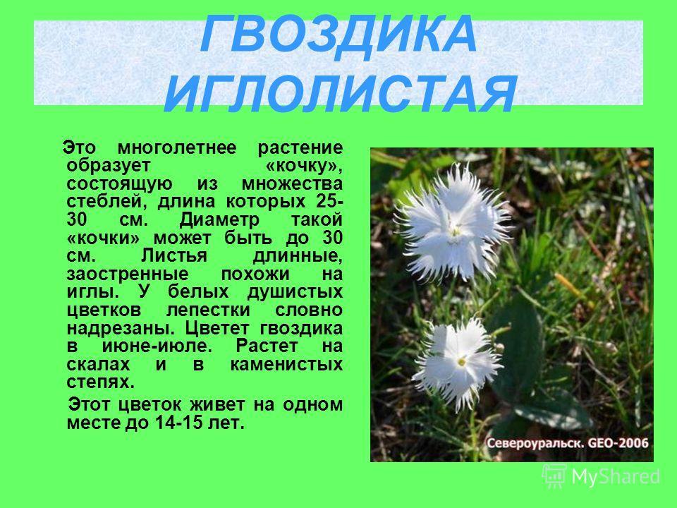 Это многолетнее растение образует «кочку», состоящую из множества стеблей, длина которых 25- 30 см. Диаметр такой «кочки» может быть до 30 см. Листья длинные, заостренные похожи на иглы. У белых душистых цветков лепестки словно надрезаны. Цветет гвоз