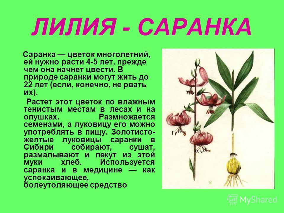 ЛИЛИЯ - САРАНКА Саранка цветок многолетний, ей нужно расти 4-5 лет, прежде чем она начнет цвести. В природе саранки могут жить до 22 лет (если, конечно, не рвать их). Растет этот цветок по влажным тенистым местам в лесах и на опушках. Размножается се