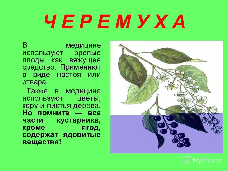 Ч Е Р Е М У Х А В медицине используют зрелые плоды как вяжущее средство. Применяют в виде настоя или отвара. Также в медицине используют цветы, кору и листья дерева. Но помните все части кустарника, кроме ягод, содержат ядовитые вещества!