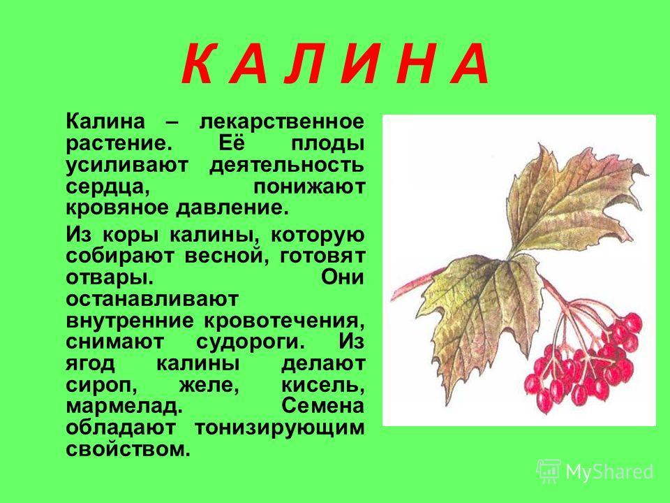 К А Л И Н А Калина – лекарственное растение. Её плоды усиливают деятельность сердца, понижают кровяное давление. Из коры калины, которую собирают весной, готовят отвары. Они останавливают внутренние кровотечения, снимают судороги. Из ягод калины дела