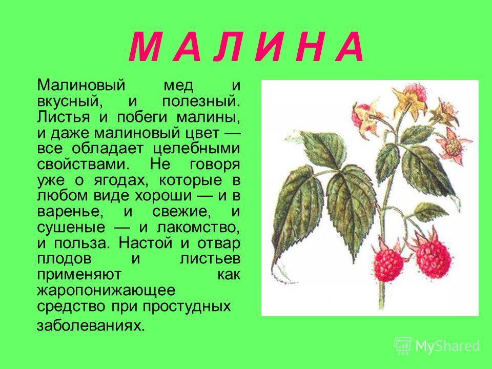 М А Л И Н А Малиновый мед и вкусный, и полезный. Листья и побеги малины, и даже малиновый цвет все обладает целебными свойствами. Не говоря уже о ягодах, которые в любом виде хороши и в варенье, и свежие, и сушеные и лакомство, и польза. Настой и отв
