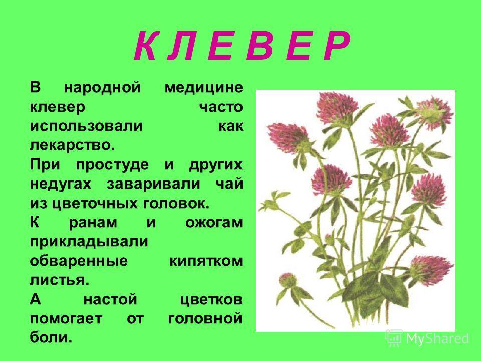 К Л Е В Е Р В народной медицине клевер часто использовали как лекарство. При простуде и других недугах заваривали чай из цветочных головок. К ранам и ожогам прикладывали обваренные кипятком листья. А настой цветков помогает от головной боли.