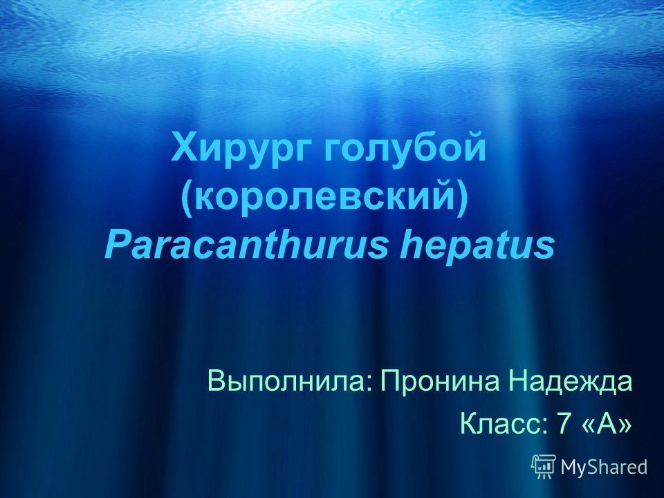 Хирург голубой (королевский) Paracanthurus hepatus Выполнила: Пронина Надежда Класс: 7 «А»