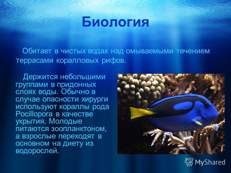 Биология Держится небольшими группами в придонных слоях воды. Обычно в случае опасности хирурги используют кораллы рода Pocillopora в качестве укрытия. Молодые питаются зоопланктоном, а взрослые переходят в основном на диету из водорослей. Обитает в