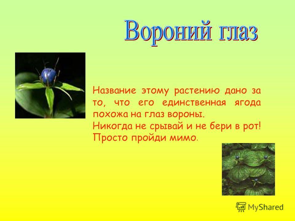 Название этому растению дано за то, что его единственная ягода похожа на глаз вороны. Никогда не срывай и не бери в рот! Просто пройди мимо.