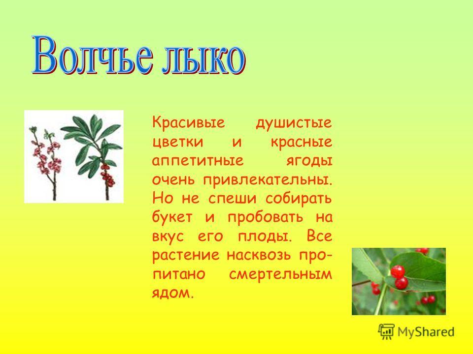 Красивые душистые цветки и красные аппетитные ягоды очень привлекательны. Но не спеши собирать букет и пробовать на вкус его плоды. Все растение насквозь про- питано смертельным ядом.