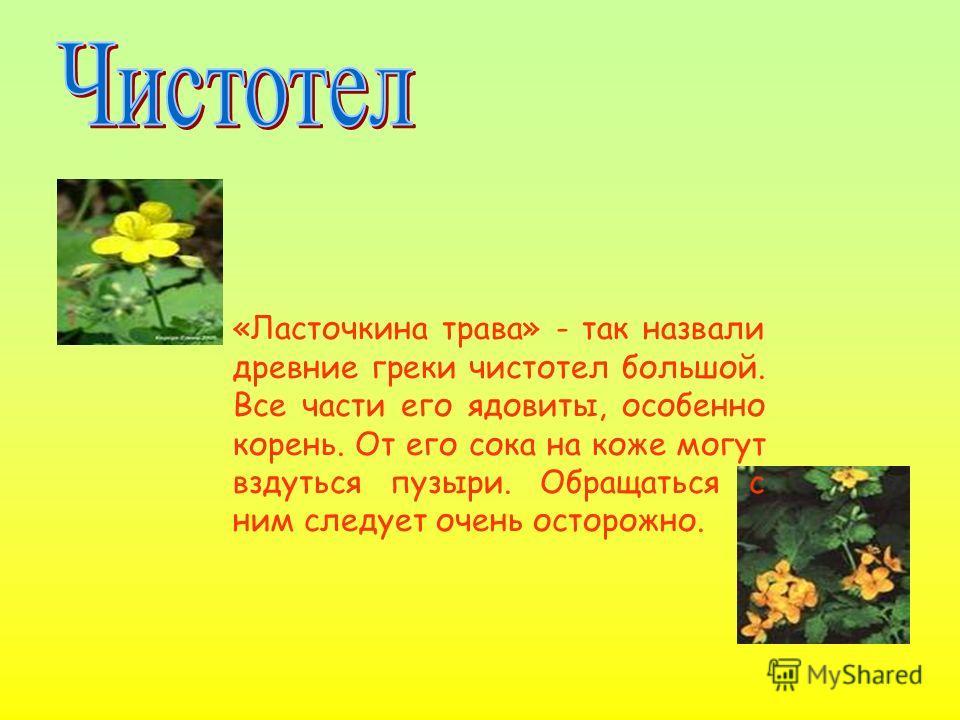 «Ласточкина трава» - так назвали древние греки чистотел большой. Все части его ядовиты, особенно корень. От его сока на коже могут вздуться пузыри. Обращаться с ним следует очень осторожно.