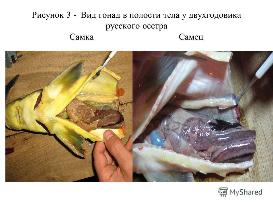 Рисунок 3 - Вид гонад в полости тела у двухгодовика русского осетра Самка Самец