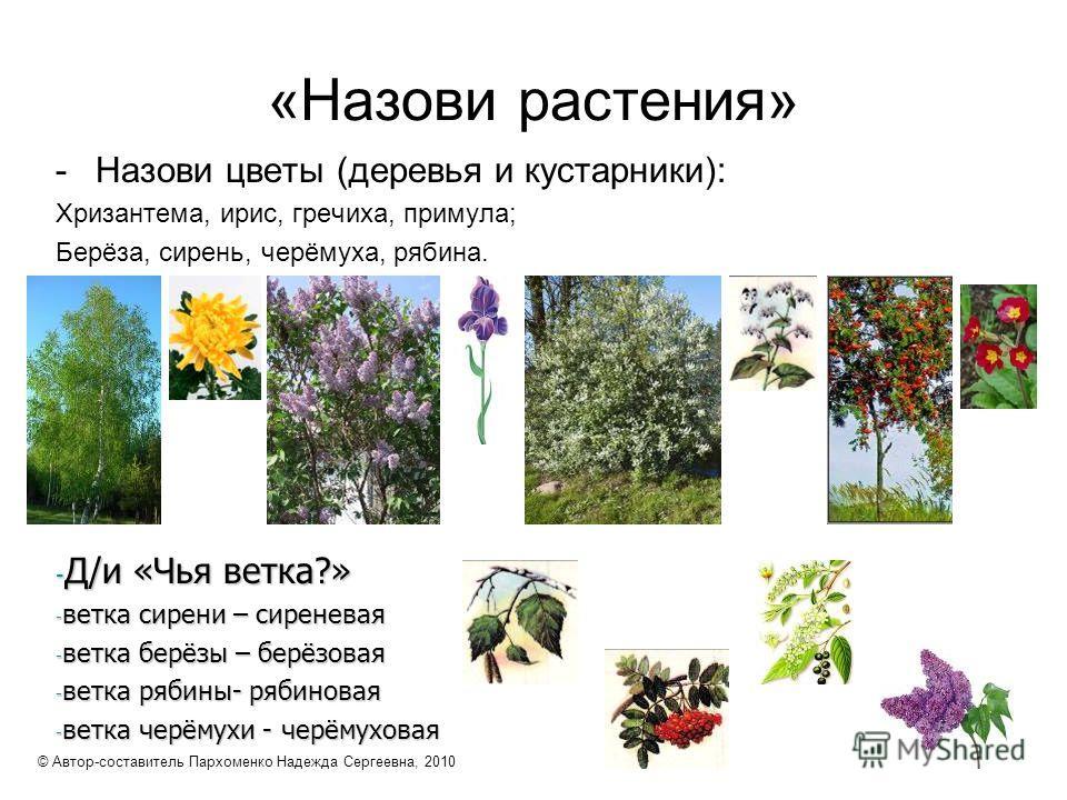 «Назови растения» -Назови цветы (деревья и кустарники): Хризантема, ирис, гречиха, примула; Берёза, сирень, черёмуха, рябина. - Д/и «Чья ветка?» - ветка сирени – сиреневая - ветка берёзы – берёзовая - ветка рябины- рябиновая - ветка черёмухи - черёму
