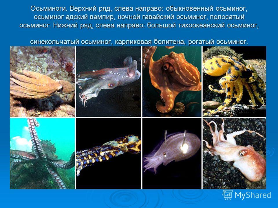 Осьминоги. Верхний ряд, слева направо: обыкновенный осьминог, осьминог адский вампир, ночной гавайский осьминог, полосатый осьминог. Нижний ряд, слева направо: большой тихоокеанский осьминог, синекольчатый осьминог, карликовая болитена, рогатый осьми