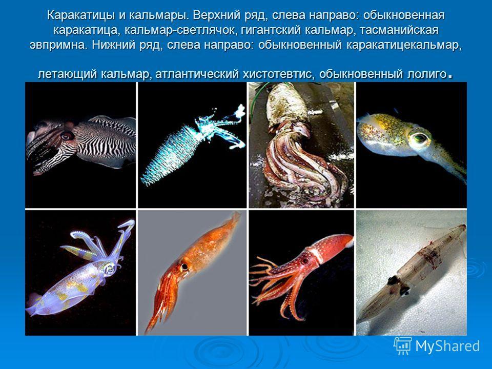 Каракатицы и кальмары. Верхний ряд, слева направо: обыкновенная каракатица, кальмар-светлячок, гигантский кальмар, тасманийская эвпримна. Нижний ряд, слева направо: обыкновенный каракатицекальмар, летающий кальмар, атлантический хистотевтис, обыкнове