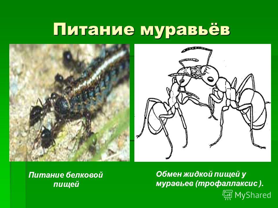 Питание муравьёв Обмен жидкой пищей у муравьев (трофаллаксис ). Питание белковой пищей