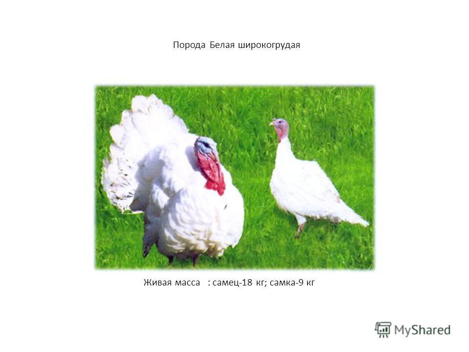 Порода Белая широкогрудая Живая масса : самец-18 кг; самка-9 кг