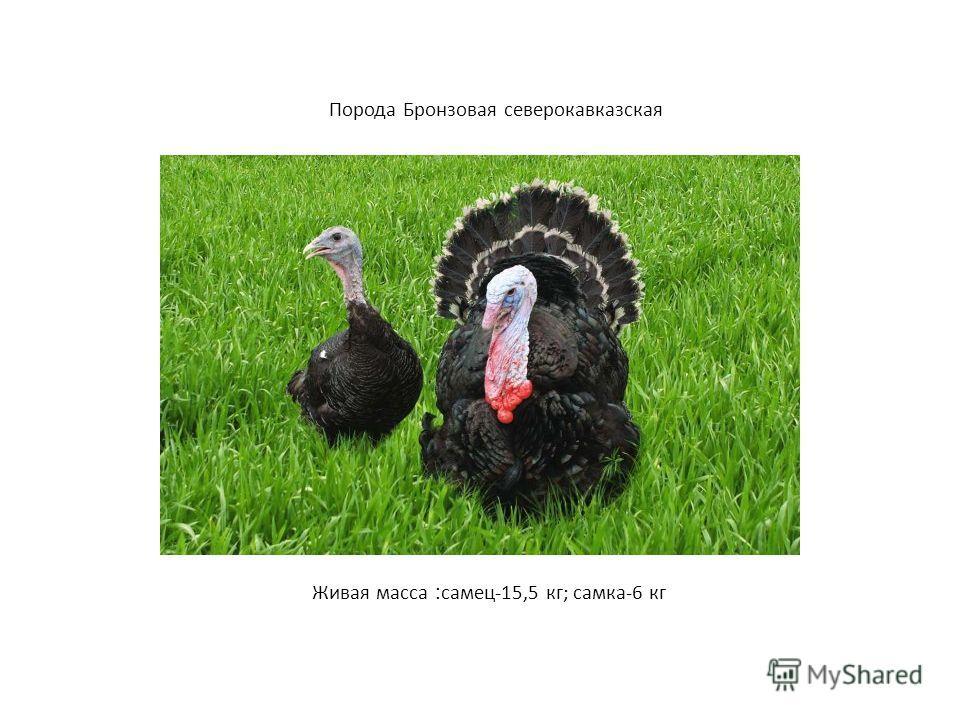 Порода Бронзовая северокавказская Живая масса : самец-15,5 кг; самка-6 кг