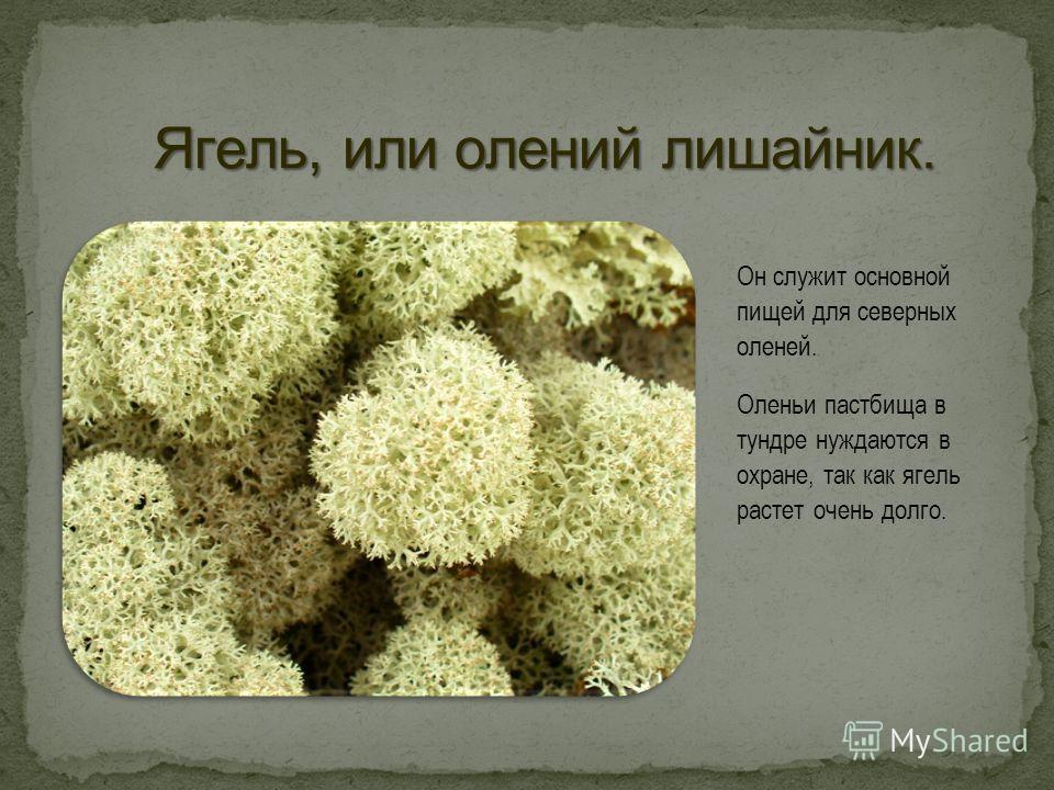 Он служит основной пищей для северных оленей. Оленьи пастбища в тундре нуждаются в охране, так как ягель растет очень долго.