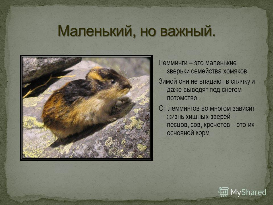 Лемминги – это маленькие зверьки семейства хомяков. Зимой они не впадают в спячку и даже выводят под снегом потомство. От леммингов во многом зависит жизнь хищных зверей – песцов, сов, кречетов – это их основной корм.