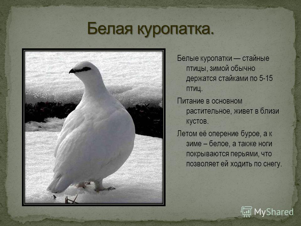 Белые куропатки стайные птицы, зимой обычно держатся стайками по 5-15 птиц. Питание в основном растительное, живет в близи кустов. Летом её оперение бурое, а к зиме – белое, а также ноги покрываются перьями, что позволяет ей ходить по снегу.