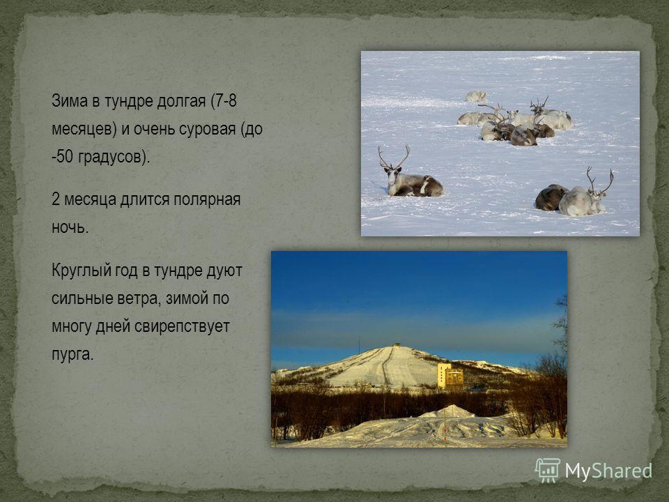 Зима в тундре долгая (7-8 месяцев) и очень суровая (до -50 градусов). 2 месяца длится полярная ночь. Круглый год в тундре дуют сильные ветра, зимой по многу дней свирепствует пурга.