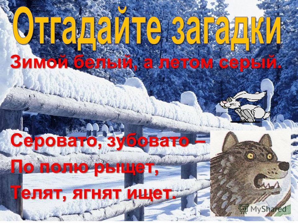 Зимой белый, а летом серый. Серовато, зубовато – По полю рыщет, Телят, ягнят ищет.