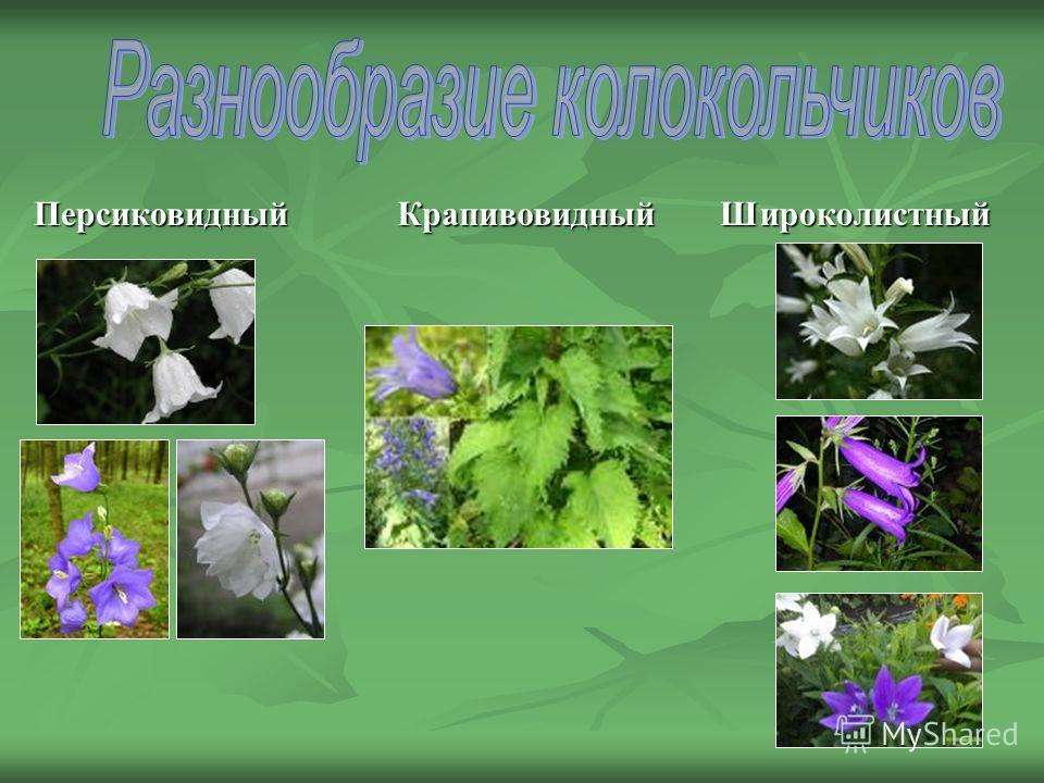 ПерсиковидныйШироколистныйКрапивовидный