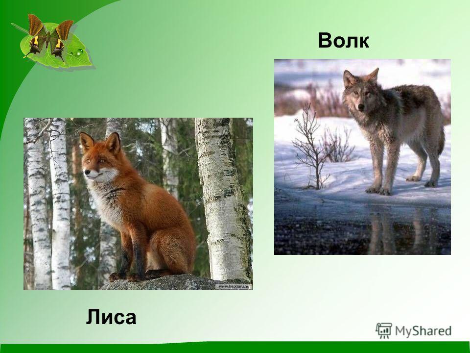 Волк Лиса