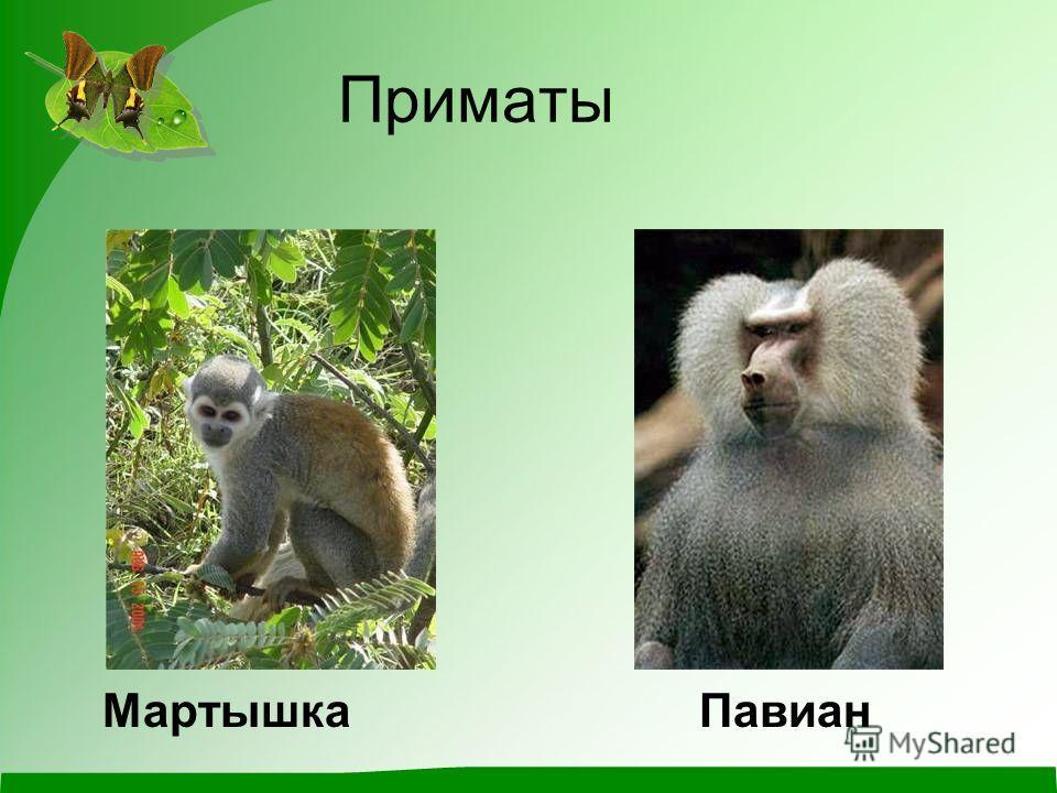 Приматы Мартышка Павиан