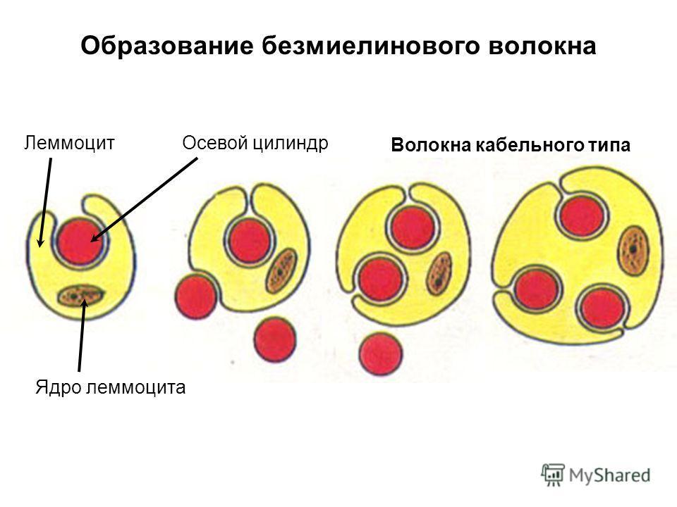 Образование безмиелинового волокна Леммоцит Ядро леммоцита Осевой цилиндр Волокна кабельного типа