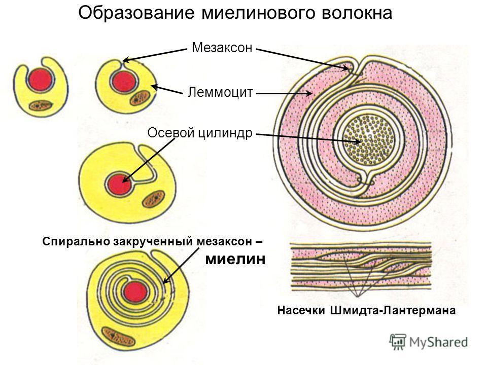 Образование миелинового волокна Леммоцит Осевой цилиндр Мезаксон Спирально закрученный мезаксон – миелин Насечки Шмидта-Лантермана