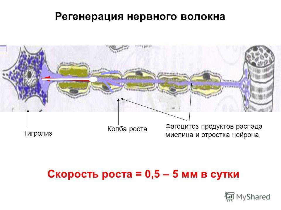 Регенерация нервного волокна Колба роста Тигролиз Фагоцитоз продуктов распада миелина и отростка нейрона Скорость роста = 0,5 – 5 мм в сутки