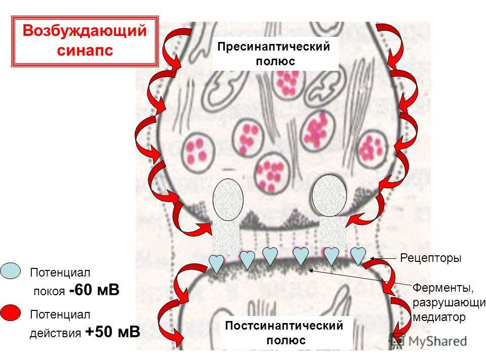 Потенциал действия +50 мВ Потенциал покоя -60 мВ Рецепторы Ферменты, разрушающие медиатор Пресинаптический полюс Постсинаптический полюс Возбуждающий синапс