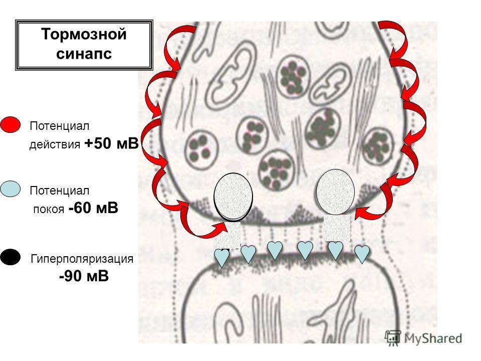 Тормозной синапс Потенциал действия +50 мВ Потенциал покоя -60 мВ Гиперполяризация -90 мВ
