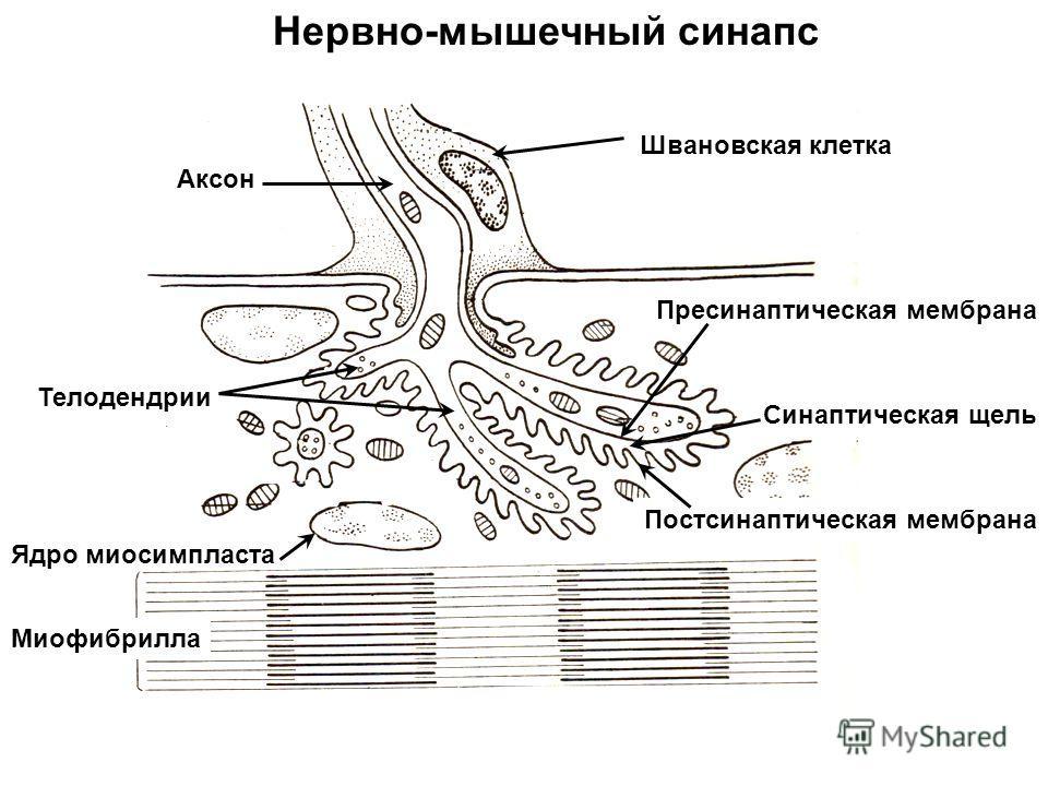Мышечный