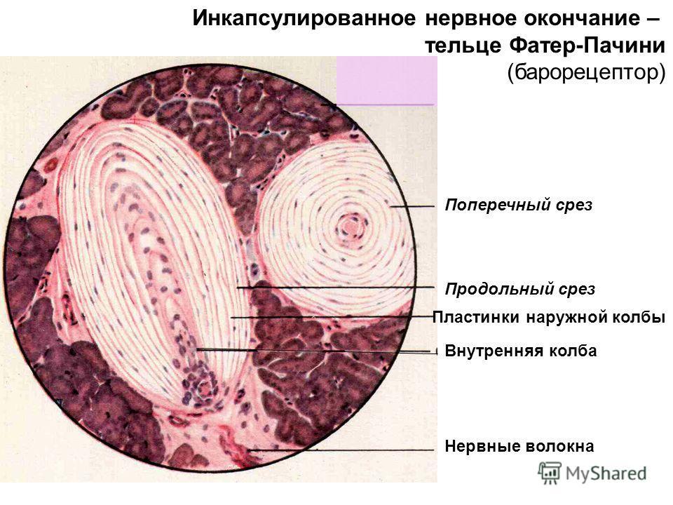 Инкапсулированное нервное окончание – тельце Фатер-Пачини (барорецептор) Поперечный срез Продольный срез Пластинки наружной колбы Внутренняя колба Нервные волокна