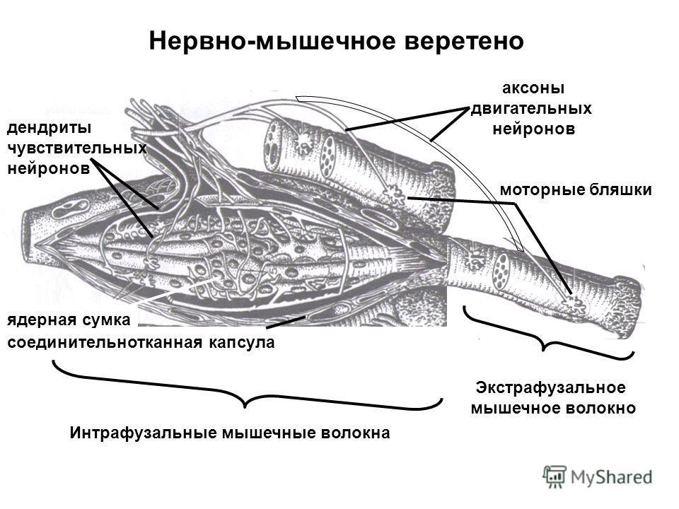 Нервно-мышечное веретено дендриты чувствительных нейронов моторные бляшки Интрафузальные мышечные волокна Экстрафузальное мышечное волокно ядерная сумка аксоны двигательных нейронов соединительнотканная капсула