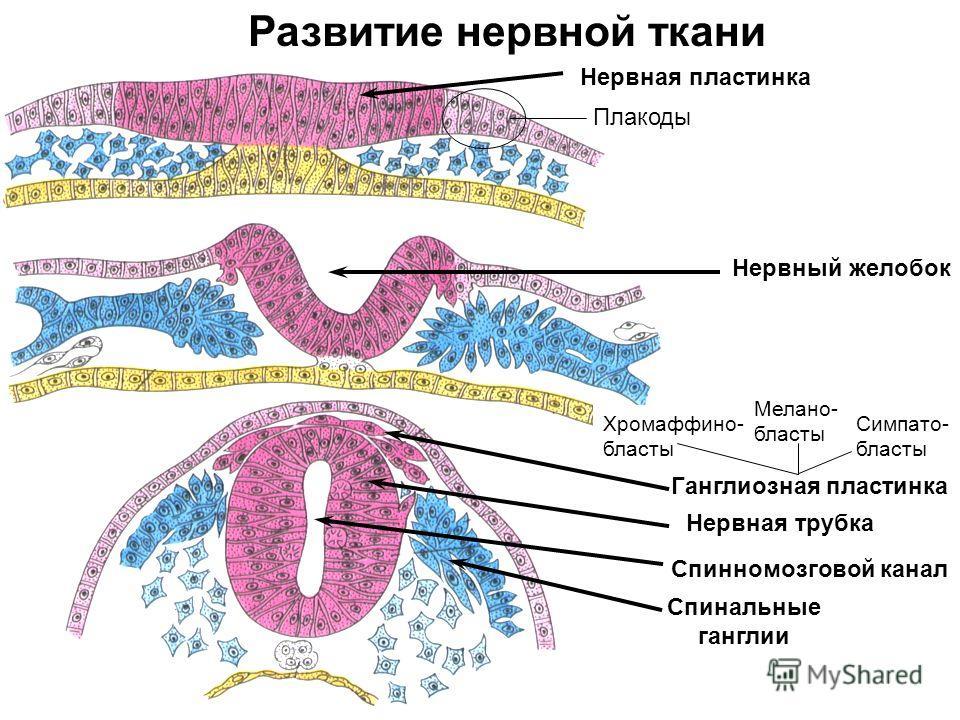 Нервная пластинка Спинномозговой канал Нервный желобок Ганглиозная пластинка Спинальные ганглии Развитие нервной ткани Плакоды Нервная трубка Симпато- бласты Хромаффино- бласты Мелано- бласты