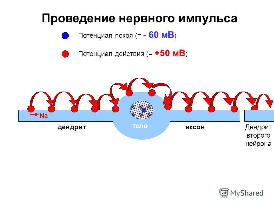Проведение нервного импульса тело Na Потенциал покоя (= - 60 мВ ) Потенциал действия (= +50 мВ ) дендритаксонДендрит второго нейрона
