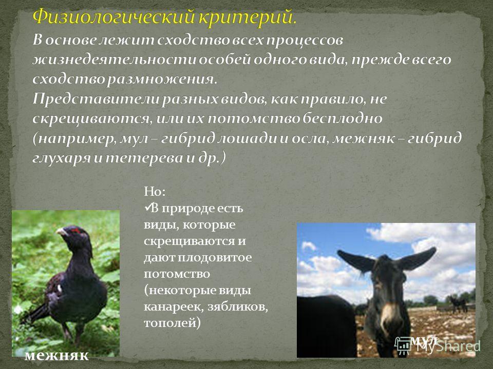 мул межняк Но: В природе есть виды, которые скрещиваются и дают плодовитое потомство (некоторые виды канареек, зябликов, тополей)