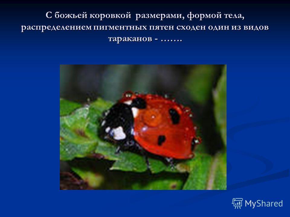 С божьей коровкой размерами, формой тела, распределением пигментных пятен сходен один из видов тараканов - …….