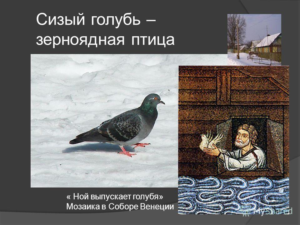 Сизый голубь – зерноядная птица « Ной выпускает голубя» Мозаика в Соборе Венеции