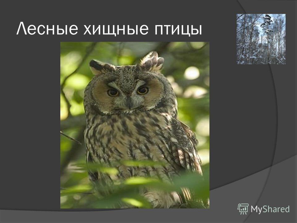 Лесные хищные птицы