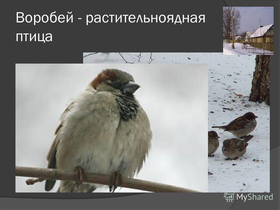 Воробей - растительноядная птица