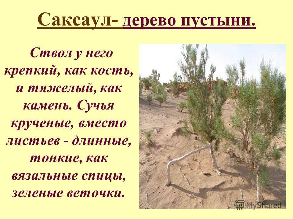 Саксаул- дерево пустыни. Ствол у него крепкий, как кость, и тяжелый, как камень. Сучья крученые, вместо листьев - длинные, тонкие, как вязальные спицы, зеленые веточки.